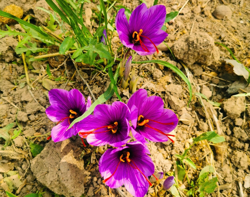 Fleur de safran, florissante en octobre